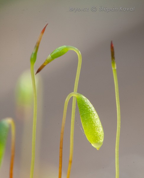 Bryum intermedium